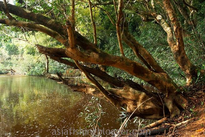 wild arowana fishing spot